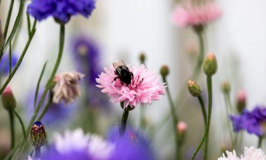 Blumenwiese mit Hummel