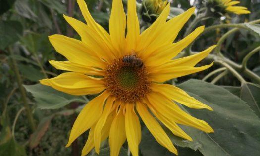 Biene sitzt auf Sonnenblume